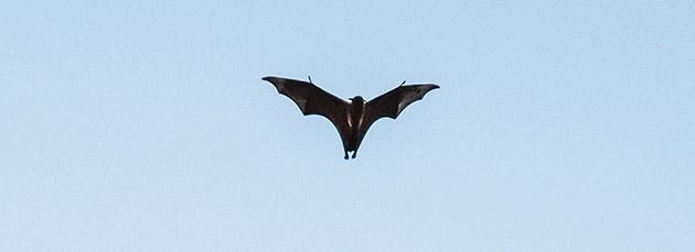 Grand Rapids bat removal